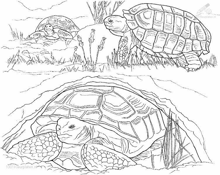 Coloringpage: turtle-coloring-page-2